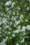 Όμορφα δέντρα άνοιξη με τα άσπρα λουλούδια Στοκ Φωτογραφία