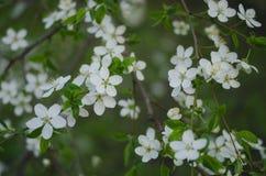Όμορφα δέντρα άνοιξη με τα άσπρα λουλούδια Στοκ Φωτογραφίες