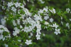 Όμορφα δέντρα άνοιξη με τα άσπρα λουλούδια Στοκ φωτογραφία με δικαίωμα ελεύθερης χρήσης