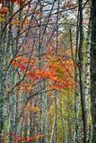 Όμορφα δέντρα σημύδων με τα φύλλα φθινοπώρου Στοκ εικόνα με δικαίωμα ελεύθερης χρήσης