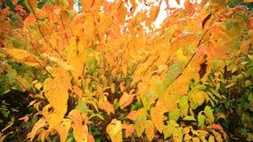 όμορφα δέντρα φθινοπώρου Πλήρες HD με το μηχανοποιημένο ολισθαίνοντα ρυθμιστή 1080p απόθεμα βίντεο