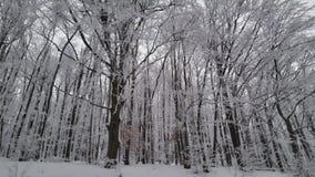 Όμορφα δέντρα χειμερινού δασικά χιονιού Στο βουνό απόθεμα βίντεο