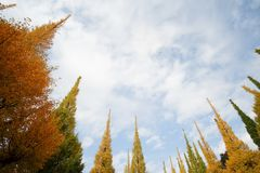 Όμορφα δέντρα Ginkgo ενάντια στο μπλε ουρανό το φθινόπωρο στο πάρκο Meiji Jingu Gaien, Τόκιο - Ιαπωνία στοκ εικόνες