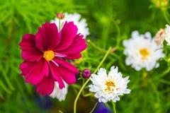 Όμορφα διακοσμητικά λουλούδια κόσμου Στοκ Εικόνες