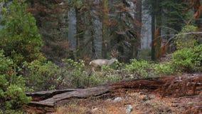 Όμορφα ελάφια που περπατούν στο δάσος φθινοπώρου Sequoia NP, 4K απόθεμα βίντεο