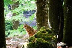 Όμορφα ευρωπαϊκά λυγξ μεταξύ της βλάστησης στοκ φωτογραφία με δικαίωμα ελεύθερης χρήσης