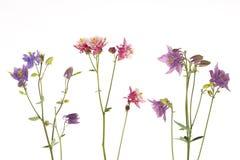 Όμορφα ζωηρόχρωμα λουλούδια Aquilegia Στοκ Εικόνα