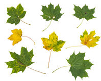 Όμορφα ζωηρόχρωμα φύλλα φθινοπώρου συλλογής στο άσπρο υπόβαθρο Στοκ Εικόνες