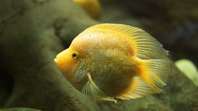Όμορφα ζωηρόχρωμα ψάρια σε ένα ενυδρείο απόθεμα βίντεο