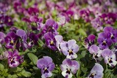Όμορφα ηλιοφώτιστα pansy λουλούδια χαμηλά ένα μικρό καθάρισμα στοκ φωτογραφία με δικαίωμα ελεύθερης χρήσης