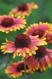 Όμορφα θερινά λουλούδια σε ένα πράσινο υπόβαθρο Στοκ Φωτογραφίες