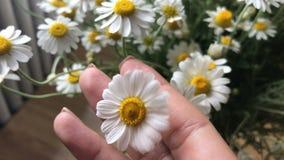 Όμορφα θερινά λουλούδια Chamomile φιλμ μικρού μήκους