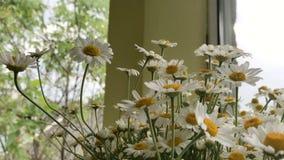 Όμορφα θερινά λουλούδια Chamomile απόθεμα βίντεο