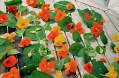 Όμορφα θερινά nasturtiums το καλοκαίρι στο NH Στοκ φωτογραφίες με δικαίωμα ελεύθερης χρήσης