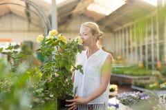 Όμορφα θηλυκά ανθίζοντας κίτρινα σε δοχείο τριαντάφυλλα εκμετάλλευσης και μυρωδιάς πελατών στο θερμοκήπιο στοκ φωτογραφία
