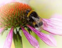 Όμορφα διακοσμητικά λουλούδια echinacea με bumblebee, floral Στοκ Εικόνα