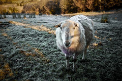 Όμορφα ιρλανδικά πρόβατα στον παγετός-καλυμμένο λόφο κατά τη διάρκεια του χειμώνα που εξετάζει τη κάμερα Στοκ Φωτογραφία