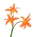 Όμορφα ιώδη λουλούδια anemone Στοκ Εικόνες