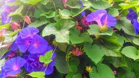 Όμορφα ιώδη λουλούδια bluebells και πράσινα φύλλα στοκ εικόνες
