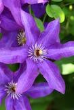 Όμορφα ιώδη clematis στον κήπο Στοκ Εικόνες
