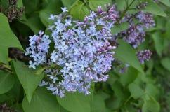 Όμορφα ιώδη ιώδη λουλούδια Στοκ Εικόνα
