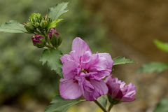 Όμορφα ιώδη hibiscus στον κήπο Στοκ Εικόνα