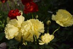 Όμορφα κίτρινα και κόκκινα λουλούδια Στοκ φωτογραφία με δικαίωμα ελεύθερης χρήσης