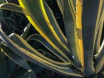Όμορφα κίτρινα και πράσινα φύλλα της αγαύης στοκ εικόνες