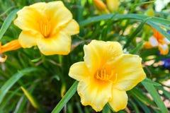 Όμορφα κίτρινα λουλούδια άνοιξη, που ανθίζουν μεταξύ της succulent πράσινης χλόης στοκ φωτογραφία με δικαίωμα ελεύθερης χρήσης