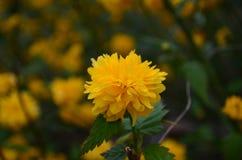 Όμορφα κίτρινα λουλούδια άνοιξη σε έναν θάμνο στον κήπο στοκ εικόνες