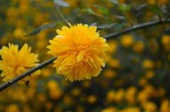 Όμορφα κίτρινα λουλούδια άνοιξη σε έναν θάμνο στον κήπο στοκ φωτογραφία