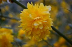 Όμορφα κίτρινα λουλούδια άνοιξη σε έναν θάμνο στον κήπο στοκ φωτογραφίες