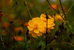 Όμορφα κίτρινα λουλούδια στον κήπο στοκ φωτογραφία με δικαίωμα ελεύθερης χρήσης