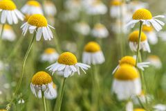 Όμορφα κίτρινα λουλούδια τομέων στοκ φωτογραφίες με δικαίωμα ελεύθερης χρήσης