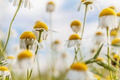 Όμορφα κίτρινα λουλούδια τομέων στοκ φωτογραφία