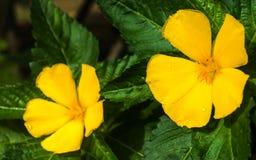 Όμορφα κίτρινα λουλούδια φυσικά Στοκ φωτογραφία με δικαίωμα ελεύθερης χρήσης