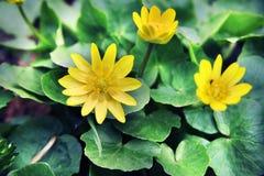 Όμορφα κίτρινα λουλούδια μεταξύ της χλόης και των φύλλων Φύση και άνοιξη Dacha, δάσος ή πάρκο Στοκ εικόνες με δικαίωμα ελεύθερης χρήσης