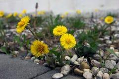 Όμορφα κίτρινα λουλούδια του farfara Tussilago (coltsfoot) foregr Στοκ Εικόνα