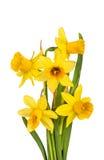 Όμορφα κίτρινα λουλούδια Daffodils που απομονώνονται Στοκ φωτογραφίες με δικαίωμα ελεύθερης χρήσης