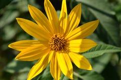 Όμορφα κίτρινα πράσινα φύλλα λουλουδιών στον κήπο Στοκ Εικόνες