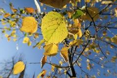 Όμορφα κίτρινα φύλλα autum στο δέντρο στο Στρασβούργο, Elsace στοκ φωτογραφίες