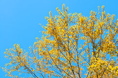 Όμορφα κίτρινα φύλλα με το μπλε ουρανό Στοκ Φωτογραφία