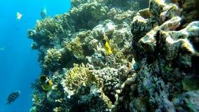 Όμορφα κίτρινα ψάρια κοντά στην κοραλλιογενή ύφαλο, σε αργή κίνηση φιλμ μικρού μήκους