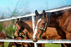 Όμορφα καφετιά άλογα κάστανων στο ζωικό αγρόκτημα Στοκ Εικόνα