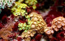 Όμορφα κοράλλι και anemone Zoanthus Στοκ φωτογραφία με δικαίωμα ελεύθερης χρήσης