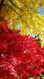 Όμορφα κόκκινα και κίτρινα δέντρα φθινοπώρου στοκ εικόνα