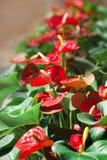 Όμορφα κόκκινα λουλούδια με τα πράσινα φύλλα στο πάρκο πόλεων Στοκ Εικόνα