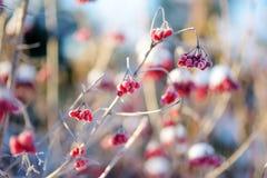 Όμορφα κόκκινα μούρα του viburnum που παγώνουν κάτω από το χιόνι Στοκ φωτογραφίες με δικαίωμα ελεύθερης χρήσης
