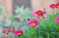 Όμορφα κόκκινα λουλούδια κήπων - Arctotis Στοκ εικόνα με δικαίωμα ελεύθερης χρήσης