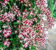 Όμορφα κόκκινα λουλούδια ορχιδεών με τα φύλλα στοκ φωτογραφίες με δικαίωμα ελεύθερης χρήσης